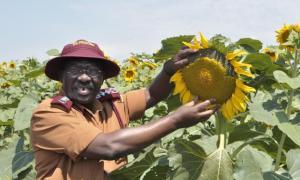 CGP sunflower
